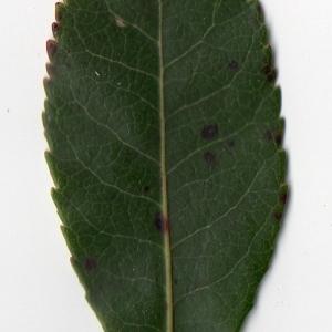 Photographie n°104751 du taxon Arbutus unedo L. [1753]