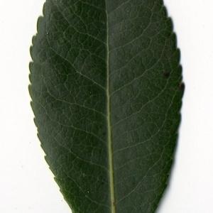Photographie n°104752 du taxon Arbutus unedo L. [1753]