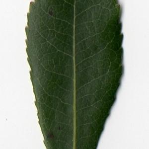 Photographie n°104753 du taxon Arbutus unedo L. [1753]
