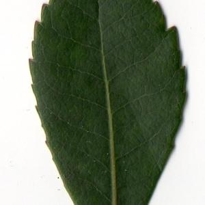 Photographie n°104754 du taxon Arbutus unedo L. [1753]