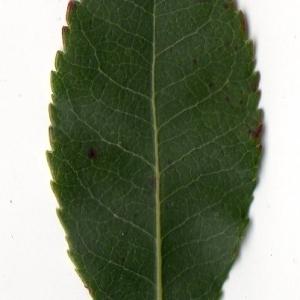 Photographie n°104755 du taxon Arbutus unedo L. [1753]