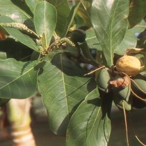 Terminalia catappa L. (Amandier pays)