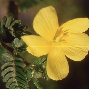 Photographie n°105037 du taxon Tribulus terrestris L. [1753]