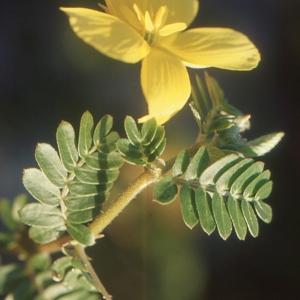 Photographie n°105038 du taxon Tribulus terrestris L. [1753]