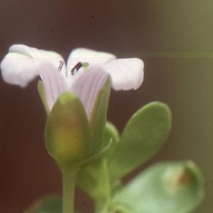 Bacopa monnieri (L.) Pennell (Kwinin pavé)