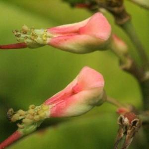 - Pedilanthus tithymaloides (L.) Poit.