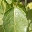 Paul Fabre - Mercurialis annua subsp. annua