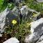 Alain Bigou - Hypericum villosum Crantz