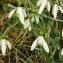 Jonathan DOBIGEON - Galanthus nivalis L.