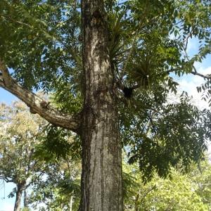 Cedrela odorata L. (Cedar)