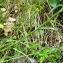 Alain Bigou - Campanula persicifolia L. [1753]