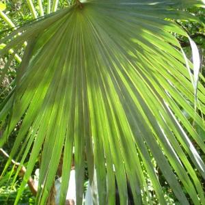 Thrinax radiata Griseb. (Palmier à balai)