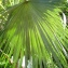 Liliane Roubaudi - Coccothrinax barbadensis (Lodd. ex Mart.) Becc.
