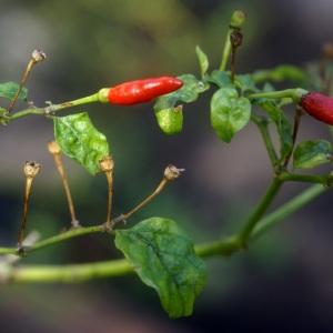 Capsicum frutescens L. (Piment)