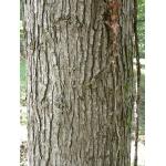 Populus trichocarpa Torr. & A.Gray ex Hook. (Peuplier baumier)