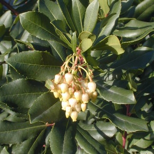 Photographie n°105667 du taxon Arbutus unedo L. [1753]