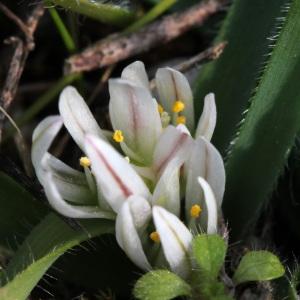 Allium chamaemoly L. [1753] (Ail petit Moly)