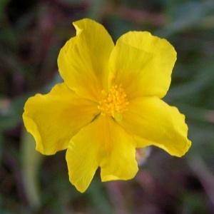 Helianthemum chamaecistus subsp. grandiflorum (Scop.) Chenevard (Hélianthème à grandes fleurs)