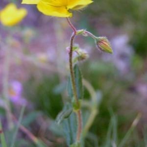 Photographie n°105827 du taxon Helianthemum grandiflorum subsp. grandiflorum