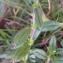 Alain Bigou - Helianthemum grandiflorum subsp. grandiflorum