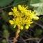 Alain Bigou - Sedum rupestre subsp. rupestre
