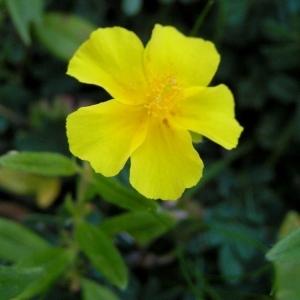 Photographie n°105847 du taxon Helianthemum grandiflorum subsp. grandiflorum