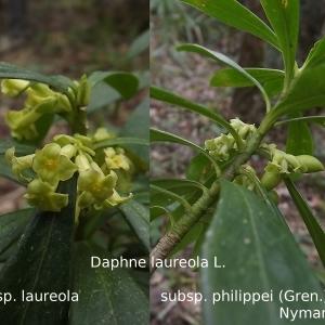 Photographie n°105855 du taxon Daphne laureola L. [1753]