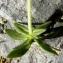 Alain Bigou - Gentiana verna subsp. verna