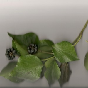 Hedera helix L. subsp. helix f. helix  (Lierre)