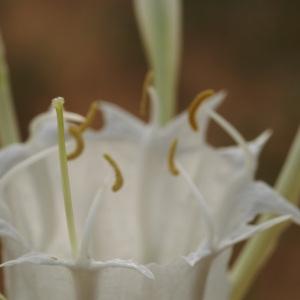 Pancratium sp.
