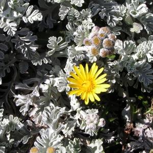 Photographie n°105996 du taxon Jacobaea leucophylla (DC.) Pelser