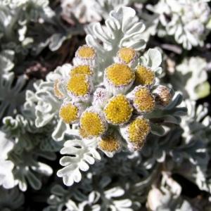 Photographie n°105997 du taxon Jacobaea leucophylla (DC.) Pelser