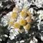 Alain Bigou - Jacobaea leucophylla (DC.) Pelser