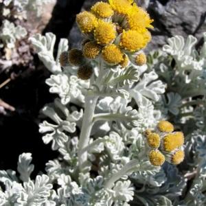 Photographie n°105998 du taxon Jacobaea leucophylla (DC.) Pelser