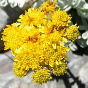Photographie n°106000 du taxon Jacobaea leucophylla (DC.) Pelser