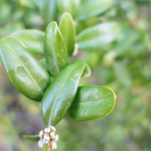 Photographie n°106025 du taxon Buxus sempervirens L. [1753]