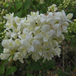 Photographie n°106069 du taxon Ligustrum vulgare L. [1753]