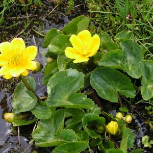 Photographie n°106101 du taxon Caltha palustris subsp. palustris