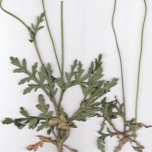 Photographie n°106242 du taxon Papaver dubium subsp. lecoqii (Lamotte) Syme [1863]