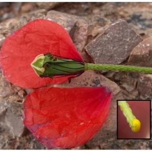 Photographie n°106243 du taxon Papaver dubium subsp. lecoqii (Lamotte) Syme [1863]