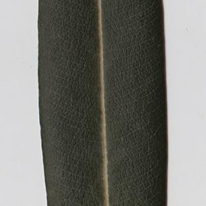 Photographie n°106287 du taxon Nerium oleander L. [1753]