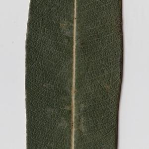 Photographie n°106288 du taxon Nerium oleander L. [1753]
