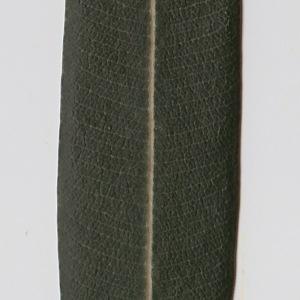 Photographie n°106289 du taxon Nerium oleander L. [1753]