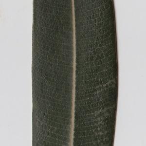 Photographie n°106291 du taxon Nerium oleander L. [1753]