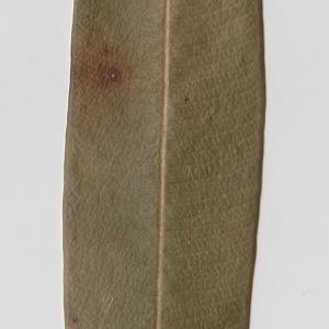 Photographie n°106293 du taxon Nerium oleander L. [1753]