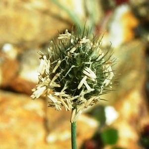 Alopecurus alpinus Vill. (Vulpin de Gérard)