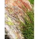 Calamagrostis villosa (Chaix) J.F.Gmel. (Calamagrostide des Alpes)