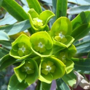 Photographie n°106586 du taxon Euphorbia dendroides L. [1753]