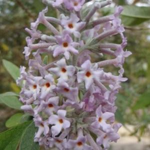 Photographie n°106610 du taxon Buddleja officinalis