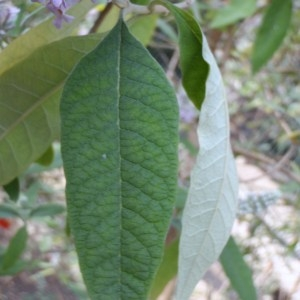 Photographie n°106611 du taxon Buddleja officinalis